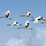 Image of birds flying in formation